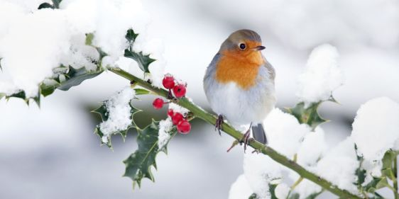 robin-on-holly