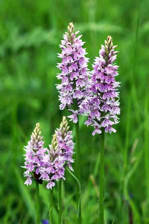 Common Spotted Orchid - Berry Head